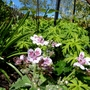 Erodium 'Sweetheart' with foliage of hardy geranium clarkei. (Erodium cicutarium (Alfileria))
