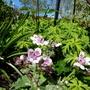 Erodium 'Sweetheart' with foliage of hardy geranium clarkei. (Erodium cicutarium (Alfileria))