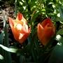 Dwarf Tulip battalini 'Bright Gem' (Tulipa Batalinii)