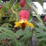 Abutilon megapotamicum