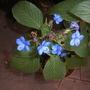 Eranthemum pulchellum - Blue Eranthemum, Tropical Blue Sage (Eranthemum pulchellum - Blue Eranthemum, Tropical Blue Sage)