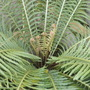 Blechnum gibbum - Dwarf Tree Fern, Silver Lady Fern (Blechnum gibbum - Dwarf Tree Fern, Silver Lady Fern)