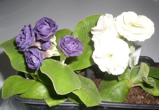 Two Primula Auriculas