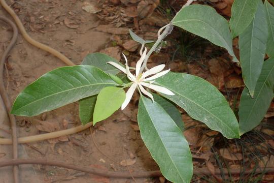 michelia champaca alba