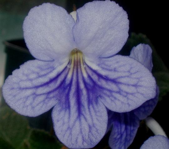 purple streptocarpus.. (streptocarpus bethan)