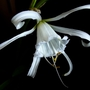 Hymenocallis narcissiflora
