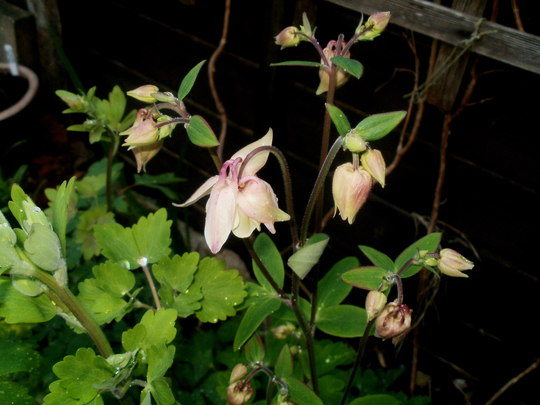 Salmon coloured Aquilegia (Aquilegia cottage scented)