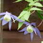 Clematis Alpina? (currently a Bee Umbrella) (Clematis alpina (Alpina Group clematis))