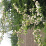 My Crab-Apple tree