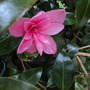 Unknown Camelia  just opened.