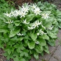 Erythronium californicum 'White Beauty' - 2012 (Erythronium californicum 'White Beauty')