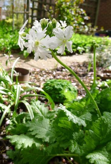 Primula sieboldii (white form) - 2012 (Primula sieboldii)