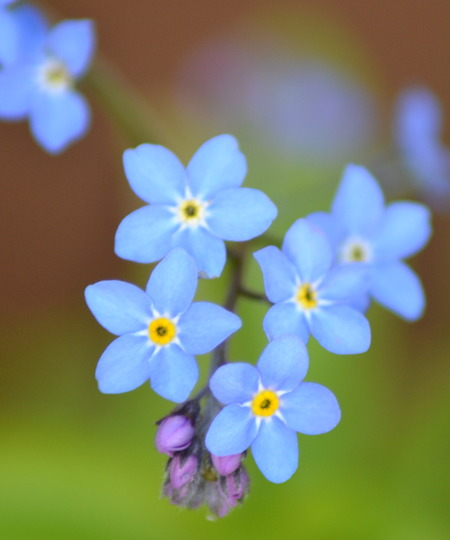 Forget-him-not!  (Myosotis sylvatica)