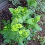 Smyrnium perfoliatum - 2012 (Smyrnium perfoliatum)