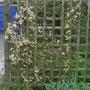 Clematis_x_cartmanii_moonbeam_2012