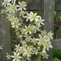 Clematis_x_cartmanii_moonbeam_close_up_2012