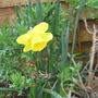 Last Daffodil of the season!!