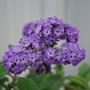 Heliotrope. (Heliotropium  Princess Marine.)
