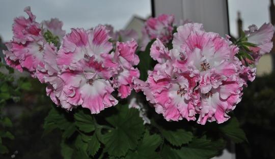 Pelargonium Delli.... (Pelargonium Delli.)