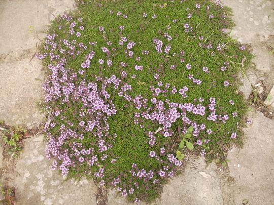 Garden Thyme (Thymus Officinale) first Flowers 06.08 (Thymus vulgaris)