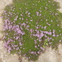 Garden Thyme (Thymus Officinale) first Flowers 06.08 (Thymus vulgaris)