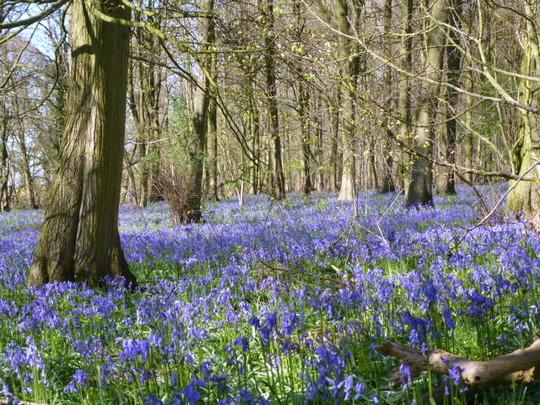 Bluebell Wood   .. '  Blog '