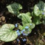 Brunnera Jack Frost - my thanks to Scottish for sending me this very pretty plant (Brunnera Jack Frost)