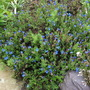 Lithodora diffusa 'Heavenly Blue' I had this in a container in 2010 and planted it here where its thrived (Lithodora diffusa 'Heavenly Blue')