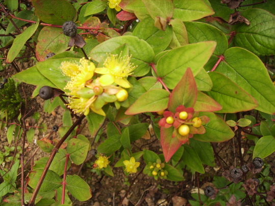 St John's Wort (Hypericum) buds, flower & fruit 06.08 (Hypericum)