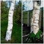 Two Birches Close Up And Shining White - Derry Bowling Club