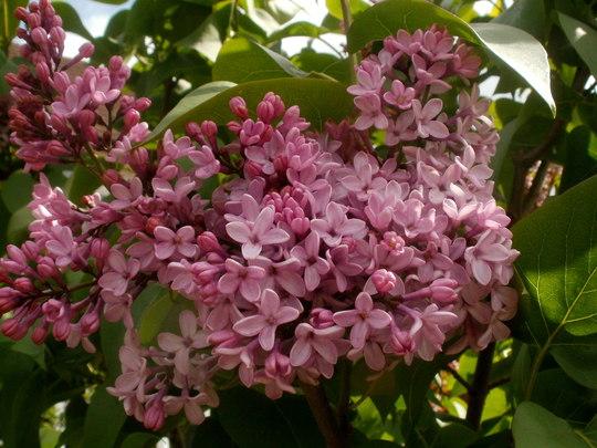 Lilac  (Syringa vulgaris (Common lilac))