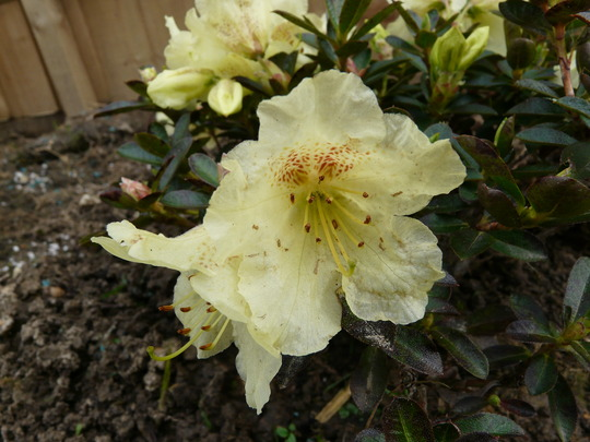 Rhododendron 'Curlew' Hybrid