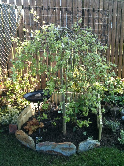 Kilmarnock Willow (Salix caprea)