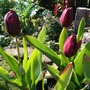 Tulip - National Velvet (Tulipa National Velvet)