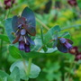 Cerinthe.... (Cerinthe major (Honeywort))