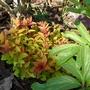 Spiraea japonica 'Magic Carpet' (Spiraea japonica)