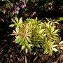 Pieris japonica 'flaming silver'