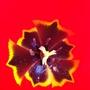 Red Tulip - Up Close
