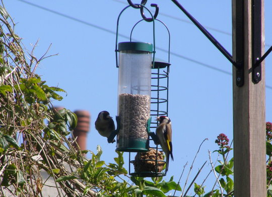 a beautiful pair of goldfinch.