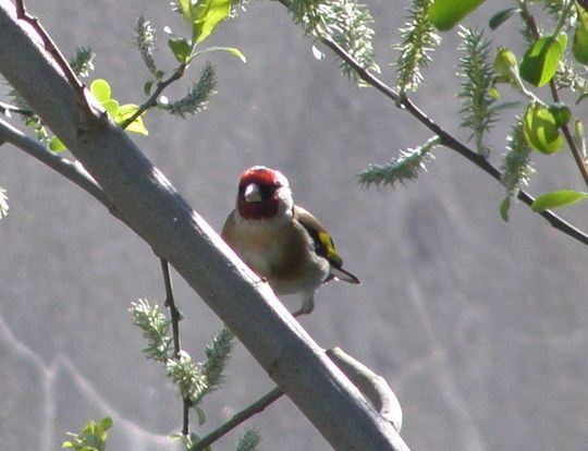 Goldfinch one on his/her own.