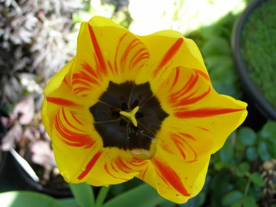 A wonderful stripped tulip