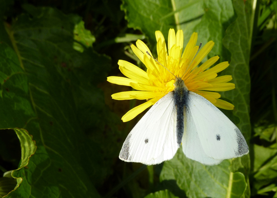 Sorry..Cabbage White