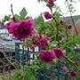 Rubus spectabilis 'Olympic Double' - 2012 (Rubus spectabilis 'Olympic Double')