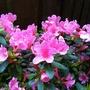Pink Azalea (Azalea)