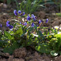 Pulmonaria_blue_ensign_lungwort_