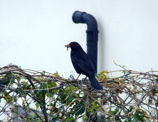 A Black Bird On The Garden Wall