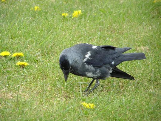 Hello Crow