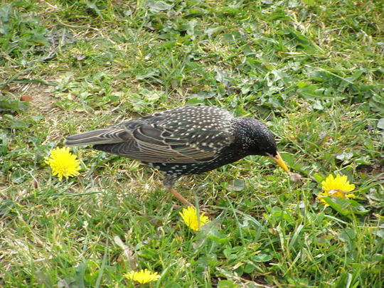 A Beautiful Starling