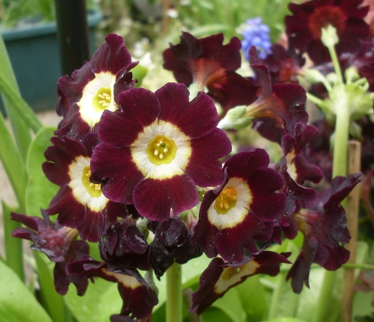 Another Auricula