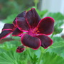 Pelargonium Lord Bute.... (Pelargonium zonal.)